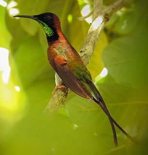 Crimson topaz Species of bird