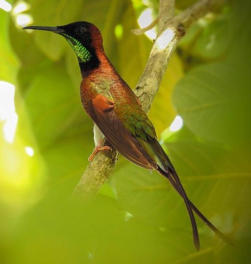 aves amazónicas: colibrí topacio