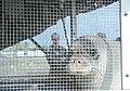 Critically endangered Hawaiian Monk Seals returned to Northwestern Hawaiian Islands 150318-G-XD768-005.jpg