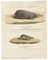 Crocidura cinnamomea - 1700-1880 - Print - Iconographia Zoologica - Special Collections University of Amsterdam - UBA01 IZ20900119.tif