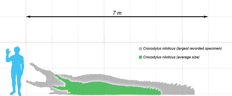 Questões e Fatos sobre Crocodilianos gigantes: Transferência de debate da comunidade Conflitos Selvagens.  - Página 2 800px-Crocodylus_nile_scale