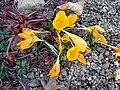 Crocus ancyrensis (BG Zurich)-01.JPG