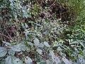 Crotalaria heyneana Graham ex Wight & Arn. (8287212058).jpg