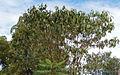 Croton megalocarpus1.jpg