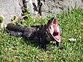Ctenosaura similis yawning.jpg