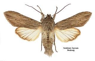 <i>Cucullia tanaceti</i> Species of moth