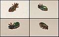 Curculionidae by Danny S.jpg