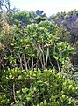 Cussonia thyrsiflora - Coastal Cabbage Tree - Cape Point 2.JPG