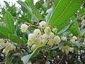 Cvetovi jagodičnice.JPG