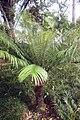 Cycas circinalis 37zz.jpg
