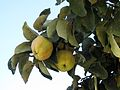 Cydonia oblonga (Quince), Skala Kalloni, Lesbos, Greece.jpg
