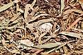 Cygnus olor (Küken) - Arboretum 2011-05-30 14-20-12.JPG