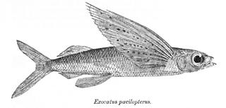 <i>Cypselurus</i> genus of fishes