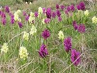 Dactylorhiza sambucina 040531Bw.jpg