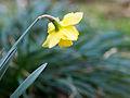 Daffodil (6970935903).jpg