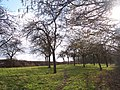 Daffodil Walk through Orchard near Allun's Farm - geograph.org.uk - 127913.jpg