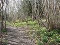 Daffodils, Arnside Park, Arnside - geograph.org.uk - 736127.jpg