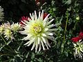Dahlia 'Shooting Star' 01.JPG