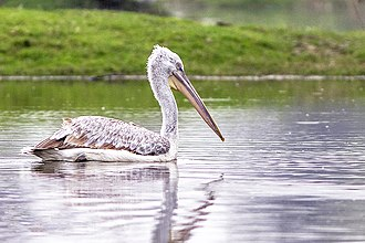 Dalmatian pelican - A Dalmatian Pelican from the lake of Bharatpur, Rajasthan, India