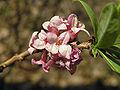 Daphne mezereum flowers bialowieza beentree corr.jpg