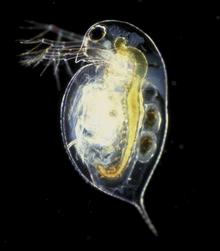 How do water fleas reproduce asexually