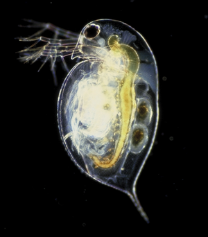 Cladocera - Daphnia pulex