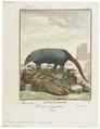 Dasypus giganteus - 1700-1880 - Print - Iconographia Zoologica - Special Collections University of Amsterdam - UBA01 IZ21000089.tif