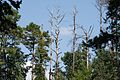 Dead trees at the edge of the woods - panoramio.jpg