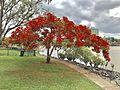 Delonix regia at the bank of Brisbane River in South Brisbane, Queensland, Australia.jpg