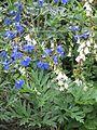 Delphinium Volkerfrieden ^ Campanula alliarifolia - Flickr - peganum.jpg