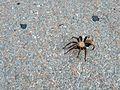 Desert Tarantula in El Paso.jpg