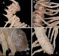 Desmoxytes lui holotype.jpg