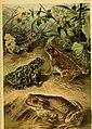 Deutschlands Amphibien und Reptilien (1890) (20862216456).jpg