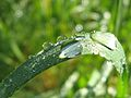 Dew on a grass.jpg