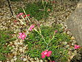 Dianthus deltoides3.jpg