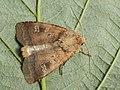 Diarsia rubi - Small square-spot - Земляная совка подорожниковая (40371754004).jpg