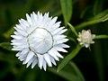 Die Strohblume, lat. Helichrysum bracteatum, Xerochrysum bracteatum, Bracteantha bracteata 03.jpg