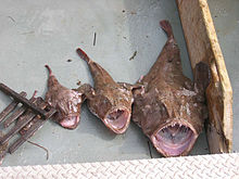 Different size monkfish.jpg
