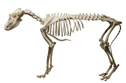 Dingo (Canis lupus dingo) skeleton at the Royal Veterinary College anatomy museum white background