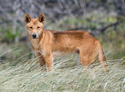 Dingo of Fraser Island-20170215-092336