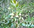 Diospyros whyteana - flowers.JPG