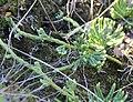 Diphasiastrum alpinum stem (02).jpg