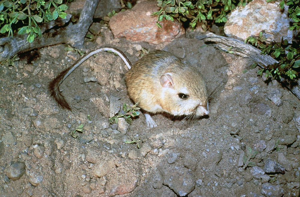 The average litter size of a Giant kangaroo rat is 4
