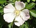 Dog rose with Thick-legged Flower Beetle - geograph.org.uk - 442672.jpg