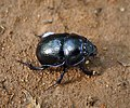 Dor Beetle Anoplotrupes stercorosus (49355145368).jpg