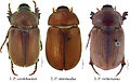 Dorsal habitus of Pseudogeniates species - ZooKeys-241-033-g001.jpeg