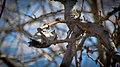 Downy Woodpecker hanging upside down.jpg