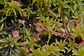 Drosera rotundifolia - list.jpg