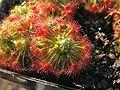 Drosera trichocaulis 2.jpg