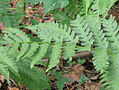 Dryopteris celsa, from Log Fern 2356c.jpg
